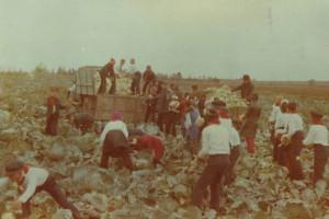 1979_Pionierii din Galati scosi la adunat varza